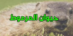 ما هو حيوان المرموط وما سبب وراء ظهور مرض الطاعون